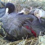 Убитые Ютовцем лысухи и турухтаны
