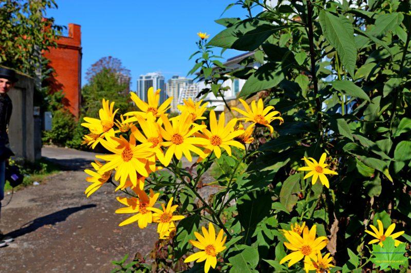 Цветущий на фоне голубого неба топинамбур