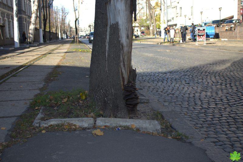 Погибший остролистный клён на Французском бульваре облюбовал съедобный и очень даже вкусный гриб вешенка ( дикий штамм отличается сильным ароматом). Конечно же , в такой близости от дороги гриб не съедобен!