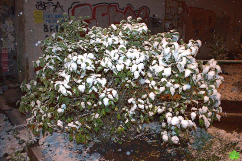 Отважный куст сирени в середине ноября, всё ещё надеется на лето. Одесса.