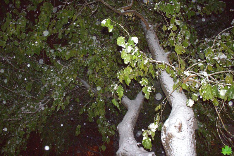 """Самое упрямое растение в Одессе с прекрасным южным названием """"Тутовое дерево"""" или шелковица. Это дерево сопротивляется зиме до последнего..."""