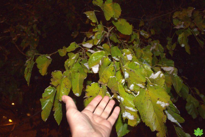 """Самое упрямое растение в Одессе с прекрасным южным названием """"Тутовое дерево"""" или шелковица. Это дерево сопротивляется зиме до последнего...Его листочки хочется согреть."""