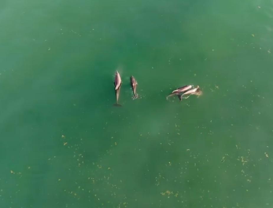 стая дельфинов покинула акваторию одесского пляжа